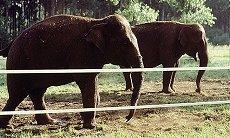 Elephant derrière clôture électrique